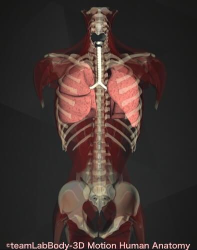 内臓痛み位置 肺