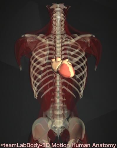 内臓痛み位置 心臓