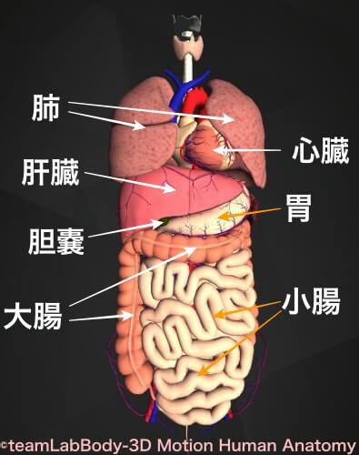 内臓 画像 正面図 名前