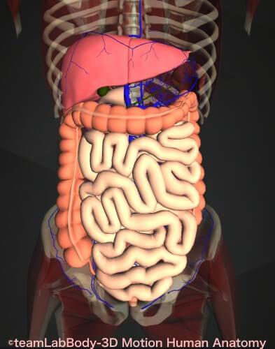 大腸肝臓 小腸 門脈