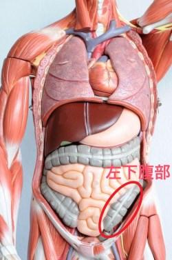 内臓図 左下腹部
