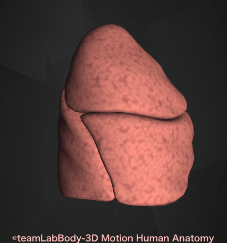 右肺場所 位置 解剖図 外側からの図