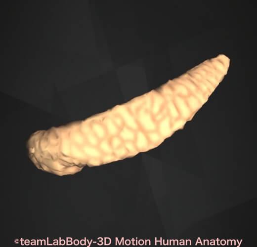 膵臓 位置 図 場所 解剖図 機能 働き