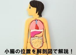 小腸の位置を解剖図で解説!小腸の機能と働きについて
