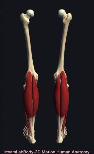 ウォーキング 筋肉痛 腓腹筋