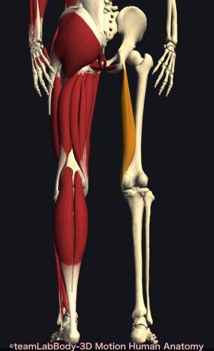 ウォーキング 筋肉痛 半膜様筋
