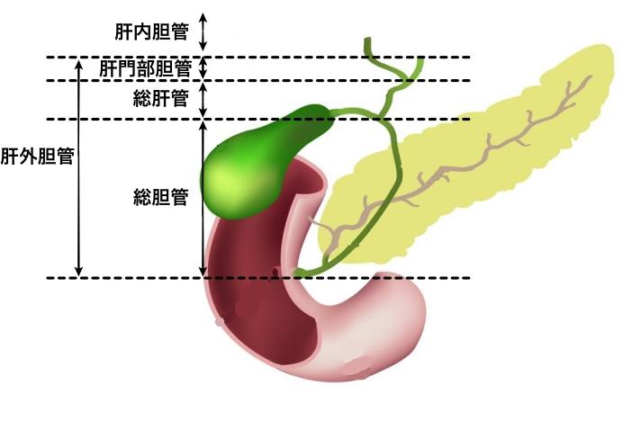 胆嚢場所図胆道