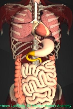 トライツ靭帯 十二指腸 位置 図