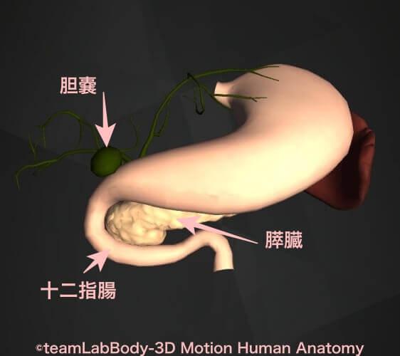 十二指腸場所図膵臓胆嚢