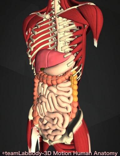 下行結腸 位置 図