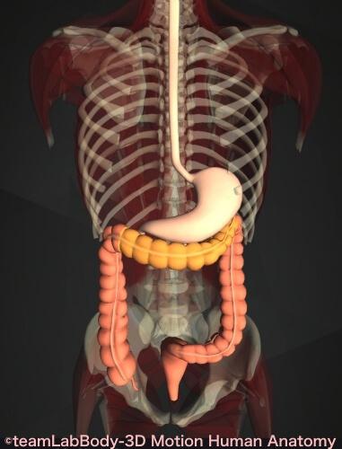 横行結腸 胃 位置 図