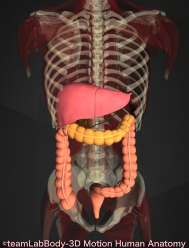 横行結腸 肝臓 痛み 位置 図