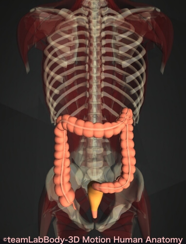 直腸 痛み 位置 図