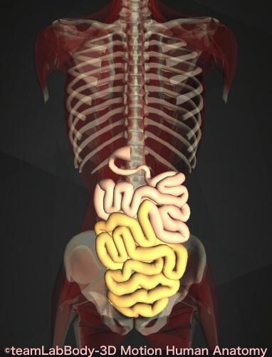 回腸 小腸全体 位置 図