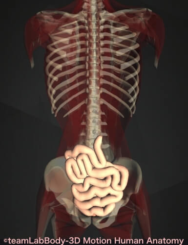 回腸 位置 図 働き