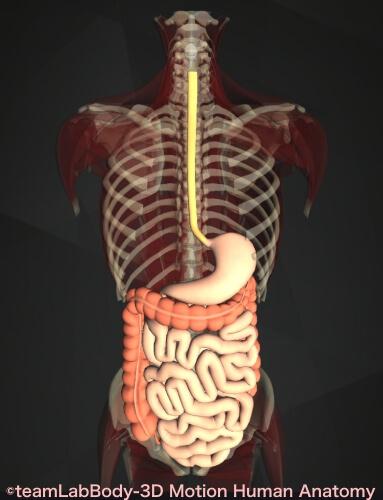 消化管 構造 機能 食道