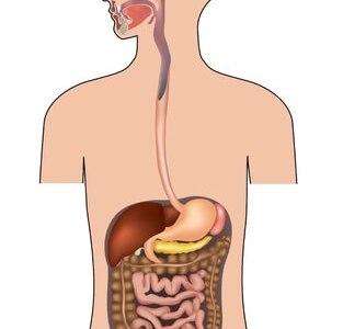 消化管の構造と機能,長さや順番はどうなってる?解剖図で解説!
