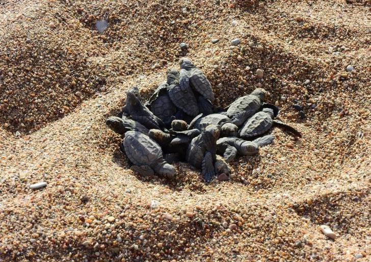 Małe żółwie w drodze do morza