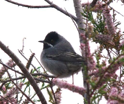 Ruppell's Warbler