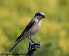 Lesser Grey Shrike, Mandria 6th September 2016 (c) Cyprus Birding Tours