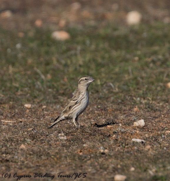 Rock Sparrow, 27th November 2016 (c) Cyprus Birding Tours