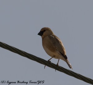 Desert Finch Cape Greco 30th April 2017 (c) Cyprus Birding Tours
