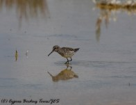 Broad-billed Sandpiper, Akrotiri 2nd May 2017 (c) Cyprus Birding Tours