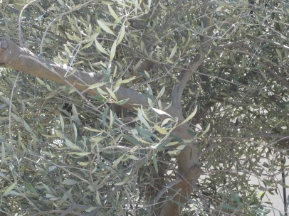 Looking into the olive tree. There was a huge grasshopper in there but he was camera shy :-(