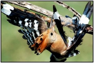 Hoopoe stuck on a stick