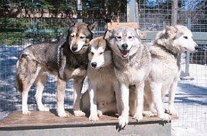 Husky dogs in kennel