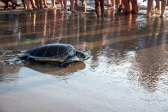 Meritta Sea Turtle released back into the sea (4)