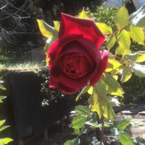 Kates rose