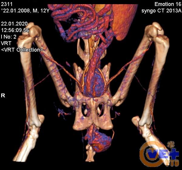 Карцинома параанальной железы у кошки. Вид на КТ.