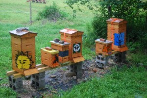 3 full hives and 3 nuc (nucleus) hives