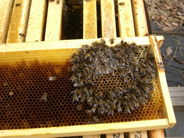 Cluster of Dead (starved) Bees on a Frame