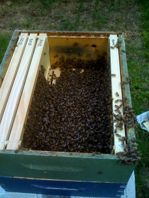 Bees from the beard combined with another hive in my apiary