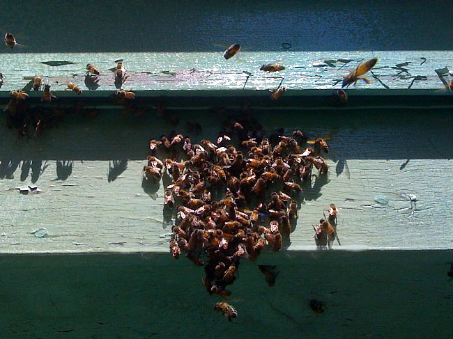 Honey Bees in the Fascia