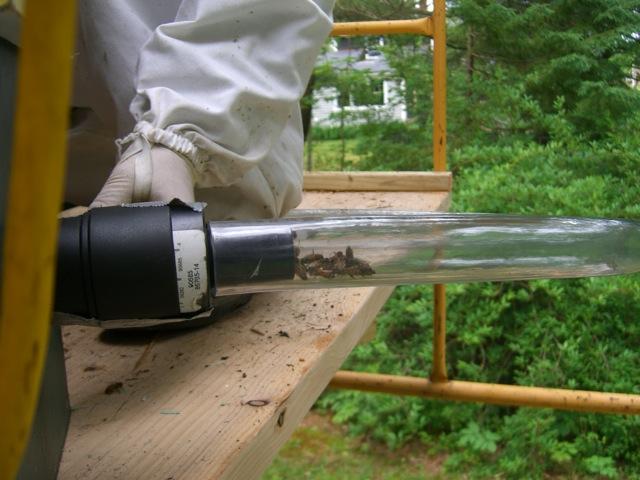 Honeybees in the hose