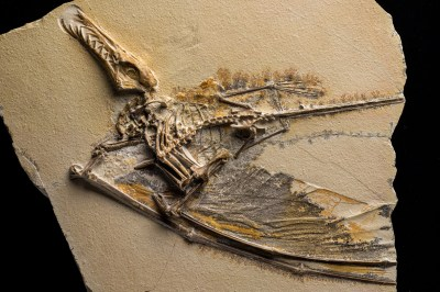 Pterosaurs Flight In The Age Of Dinosaurs How Did