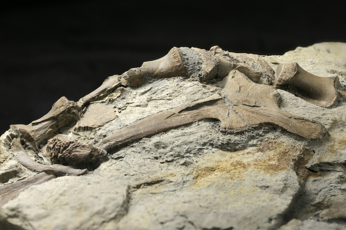 Hip and vertebrae of dinosaur