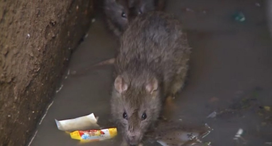 UK Storms Sewer Rats Invade London Homes