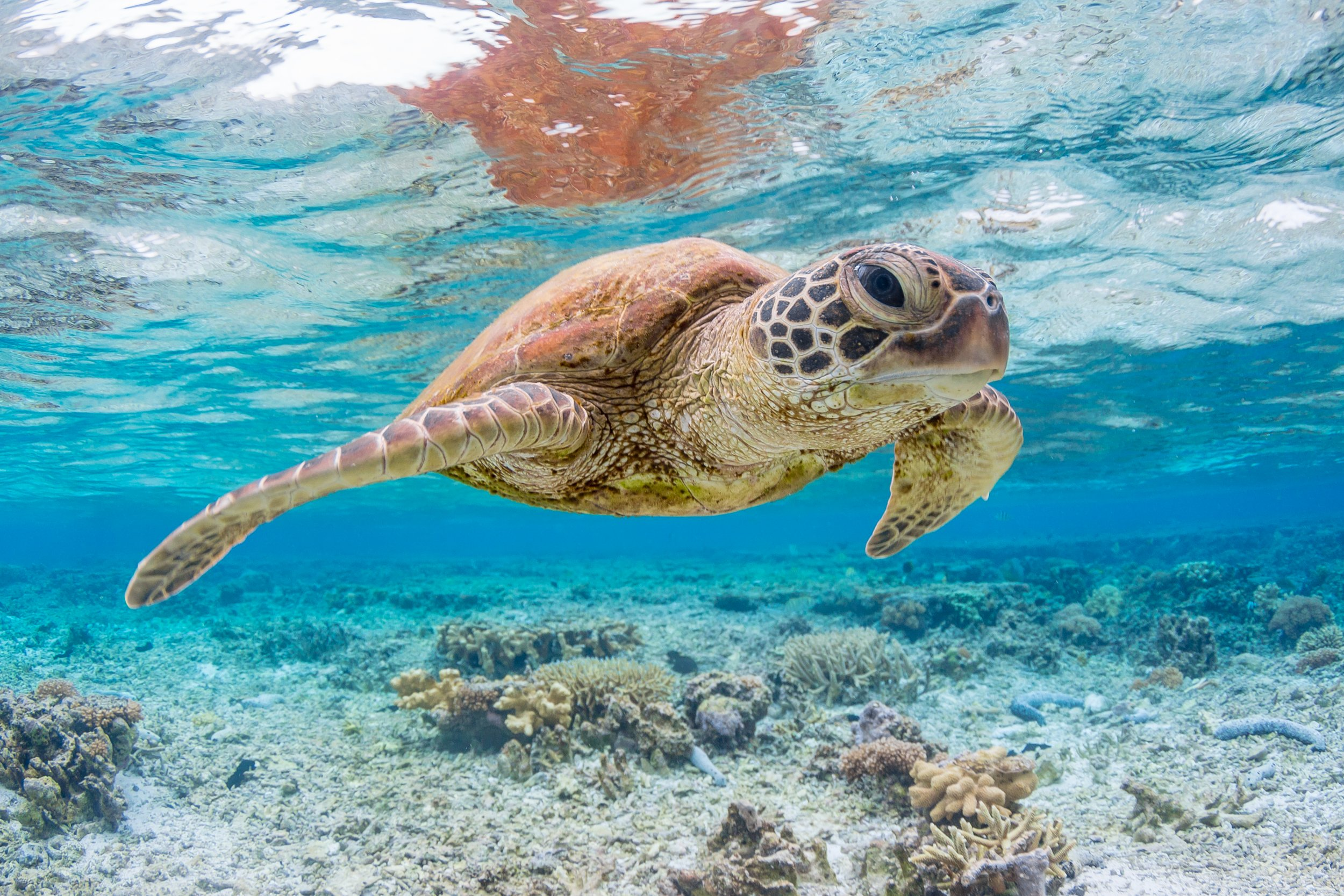 Endangered Green Sea Turtle Populations Are Recovering In