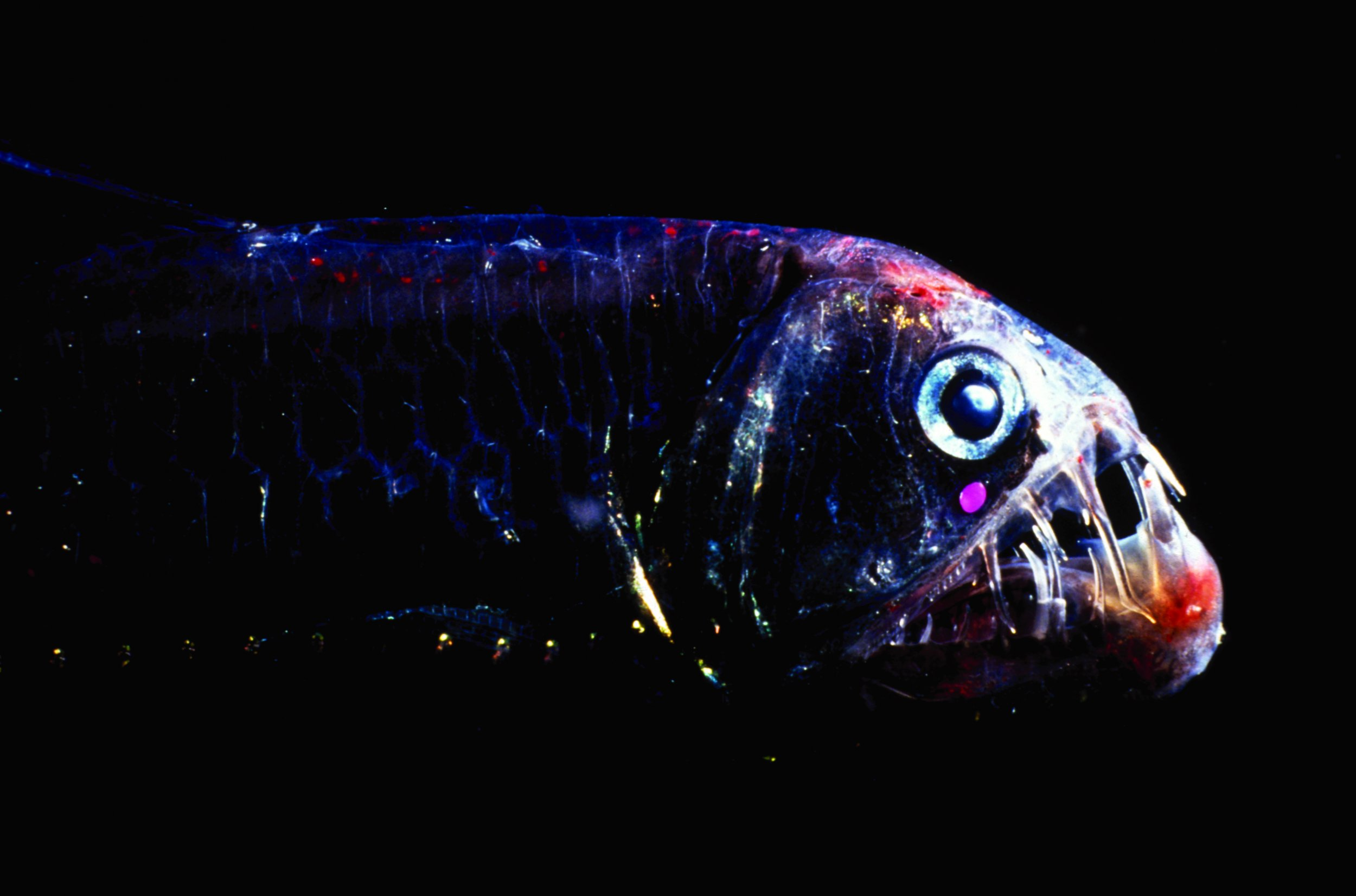 Deep Sea Fish Living In Almost Total Darkness S Of