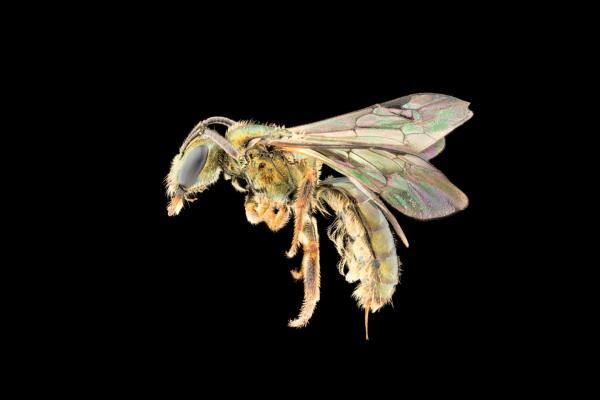 New bee species discovered is already at risk of extinction from climate change