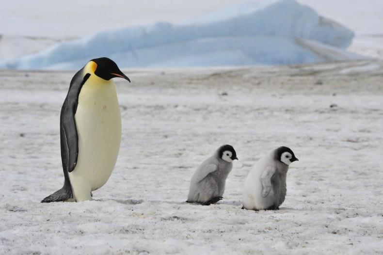 emperor penguins, antarctica, snow hill, stock, getty