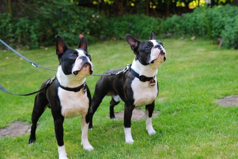 #9. Boston terrier
