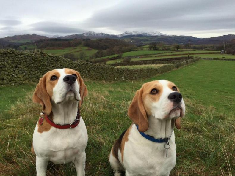 #5. Beagle