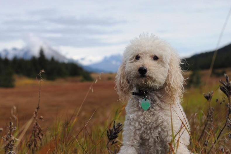#4. Poodle