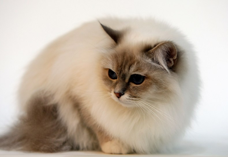 Birmin cat