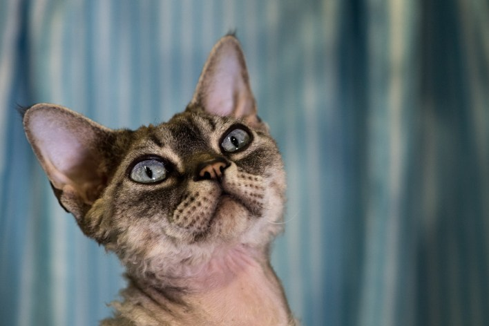 Devon rex cat U.K. 2017